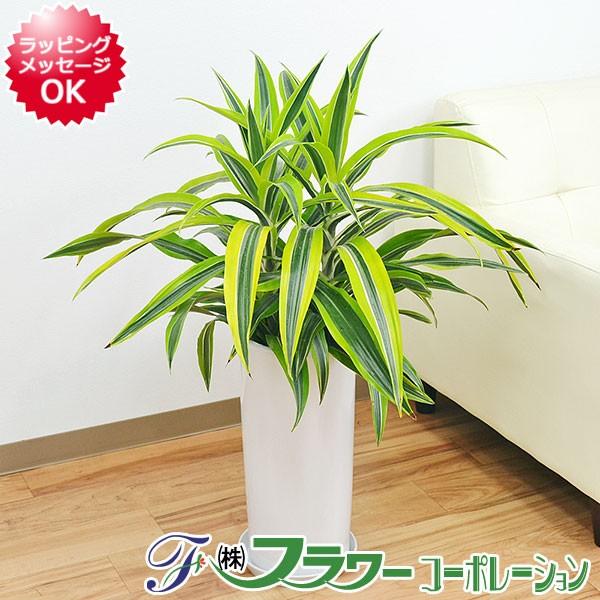 【送料無料】観葉植物 ドラセナ・デレメンシス・...