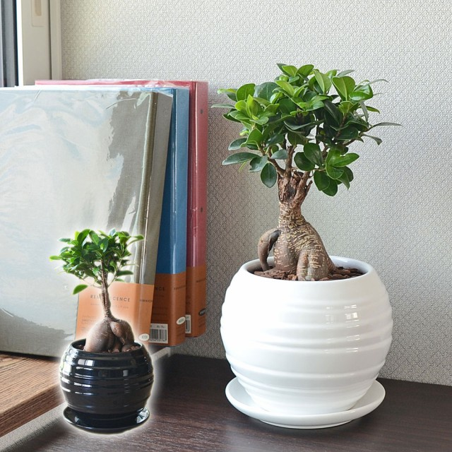 観葉植物 ガジュマル 多幸の木 おしゃれ お祝い ...