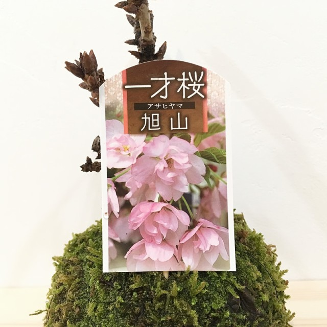 苔玉 旭山桜のコケダマ