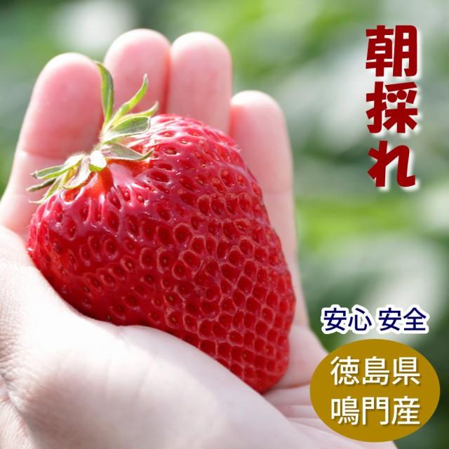 朝どれ苺 紅ほっぺ 徳島県産 サイズおまかせ6パッ...