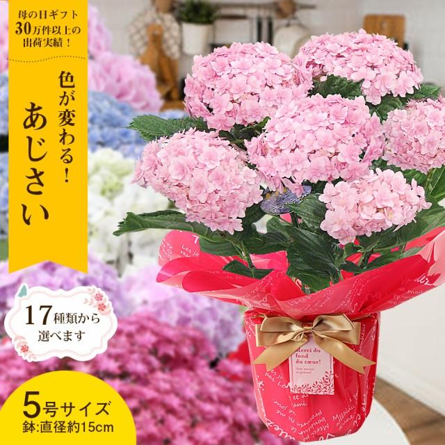 母の日 あじさい プレゼント ギフト 17種類から選べるアジサイ5号サイズ 紫陽花 鉢植え こだわりラッピング 全国送料無料