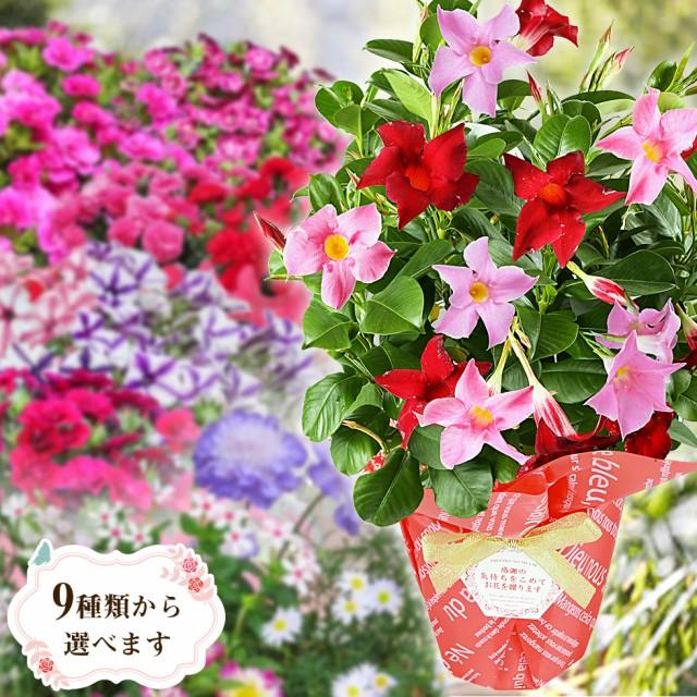 母の日 プレゼント ギフト 花 マンデビラ カーネーション 寄植え等 人気のお花たち こだわりラッピング 全国送料無料