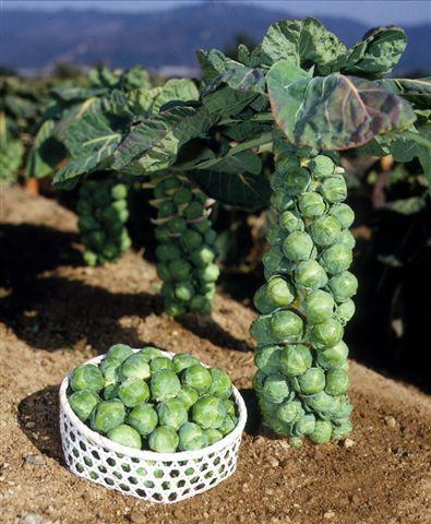 ポコポコ出来る栄養満点の冬野菜芽キャベツのタネ...