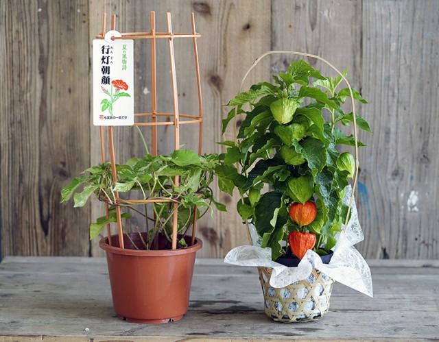 『ほおずき+日本朝顔』 茨城三和園芸もしくは東...