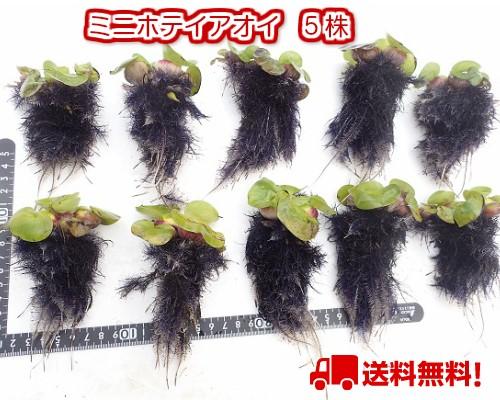 5株(送料無料) /ミニホテイ草(浮草・完全無肥料...