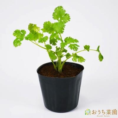 コリアンダー パクチー 苗 ハーブ 野菜 / 9cm ...