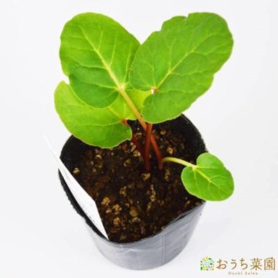 ルバーブ 苗 ハーブ 野菜 / 9cm ポット