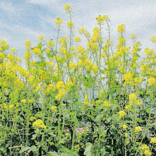 種 1kg × 5袋 緑肥用からしなシロカラシ 黄花の...
