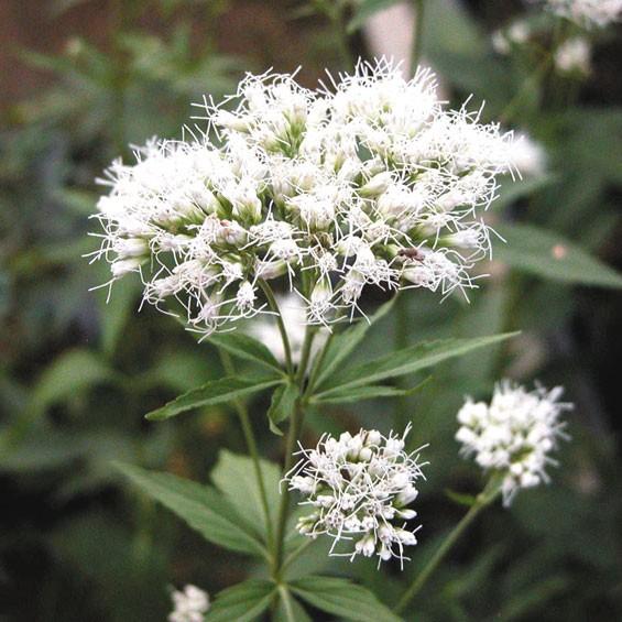 【山野草】白花フジバカマ