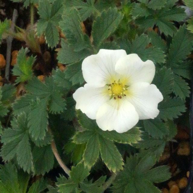 【山野草】白花ポテンティラ