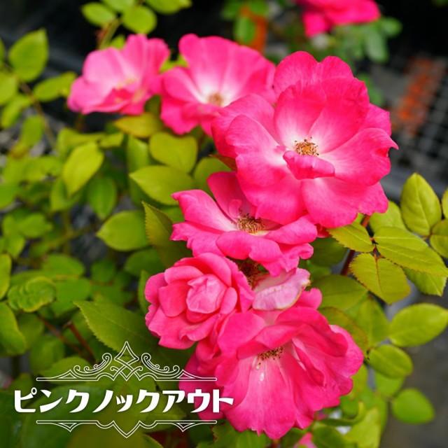 【バラ苗】 ピンクノックアウト 大苗 木立バラ FL...