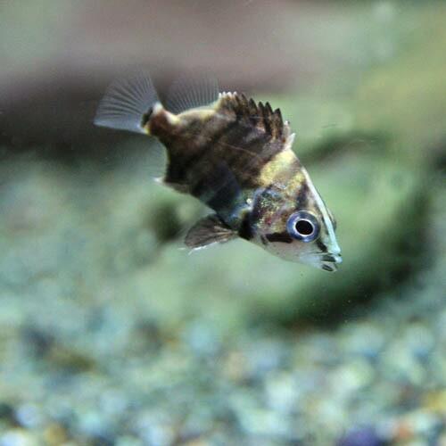 (熱帯魚 生体) ダトニオプラスワン(約1-2cm)...