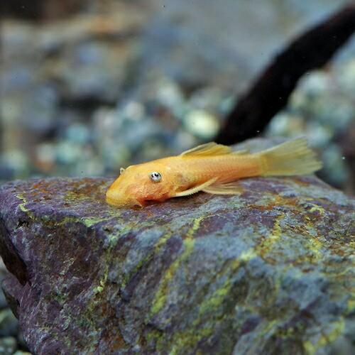 (熱帯魚 生体) ブルーアイゴールデンミニブッシー...