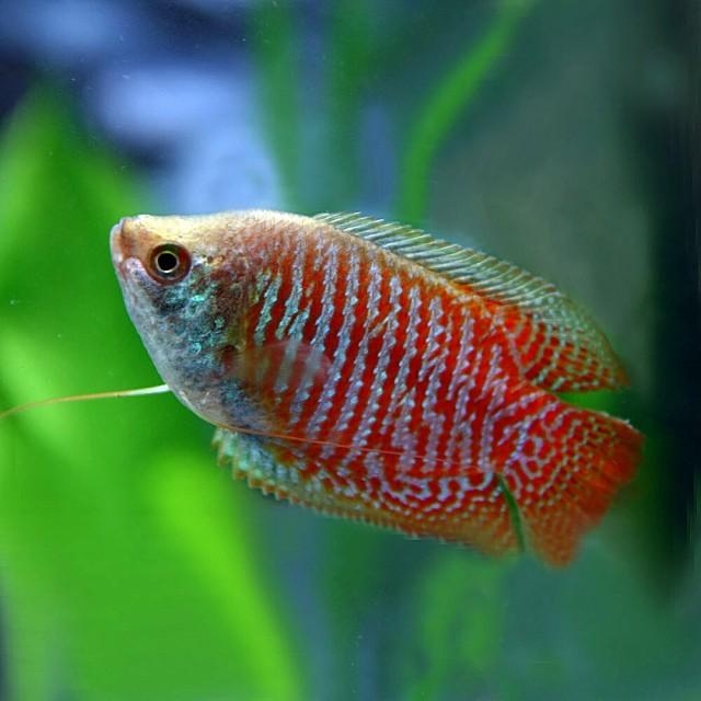 (熱帯魚 生体) ドワーフグラミー (約4cm)(1...