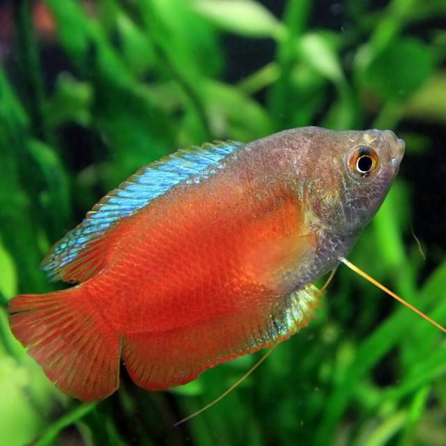 (熱帯魚 生体) オレンジドワーフグラミー (約4c...