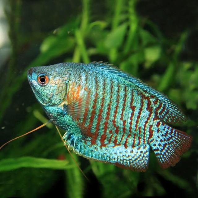 (熱帯魚 生体) ネオンドワーフグラミー (約4cm...