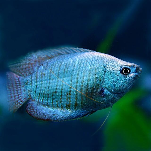 (熱帯魚 生体) コバルトドワーフグラミー (約4c...