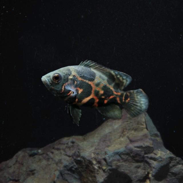 (熱帯魚 生体) タイガーオスカー(約4cm)(1匹...