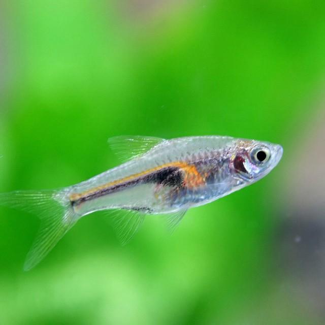 (熱帯魚 生体) ラスボラ ヘンゲリー(約1.5-2...