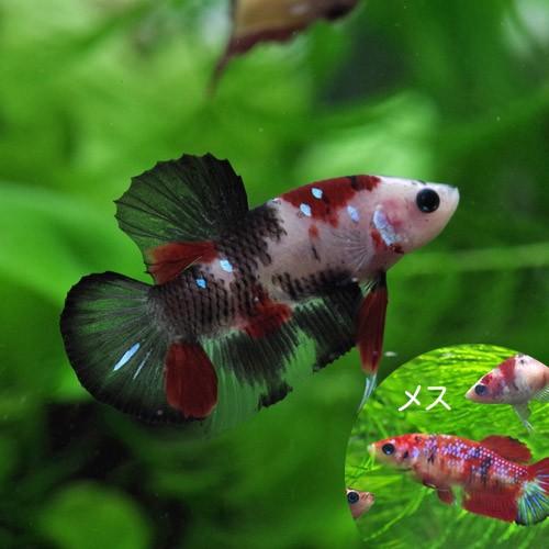 (熱帯魚 生体) コイカラーベタ (1ペア)  【水...