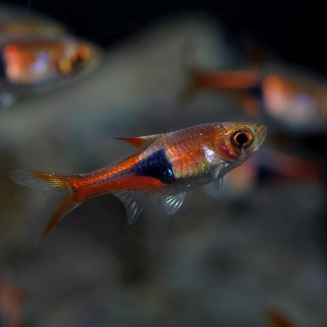 (熱帯魚)ラスボラ ヘテロモルファ(約1.5-2cm...