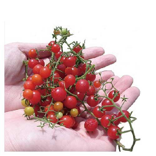 マイクロトマトの種 赤 20粒