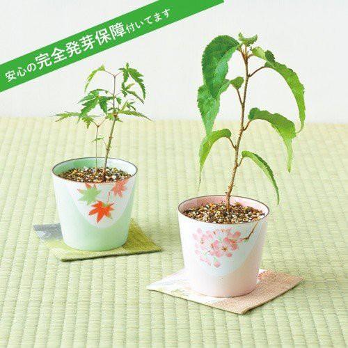 盆彩栽培セット 盆栽 もみじ 桜 栽培キット 発芽...