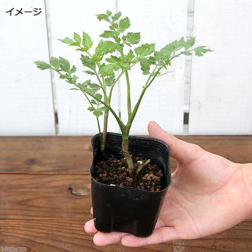 (山野草)山菜 セリ(芹) 3号(1ポット) (休眠株)