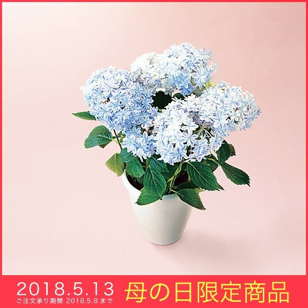 母の日 ギフト アジサイ 鉢植え 万華鏡5号鉢 ブ...