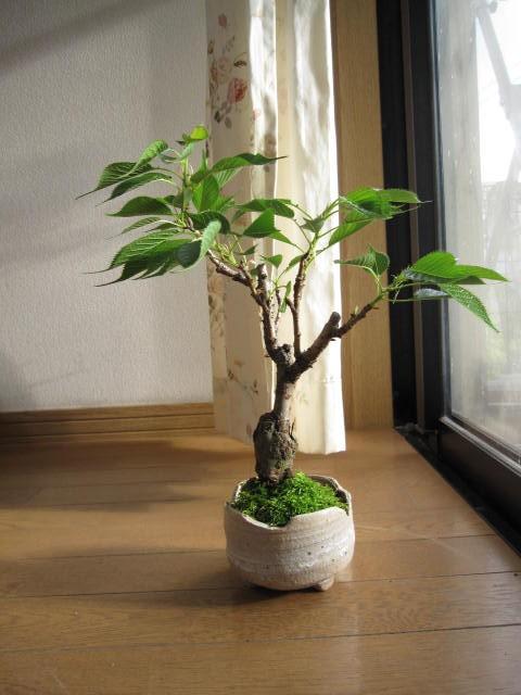 春に 自分で咲かす 桜盆栽