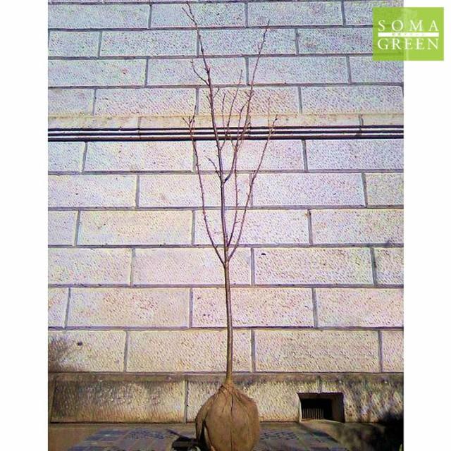 サクラ 御衣黄 (ギョイコウ) 樹高1.8〜2.0m前後 (...