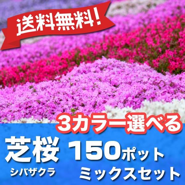 送料無料 シバザクラ 芝桜 3カラー選べる 150ポッ...