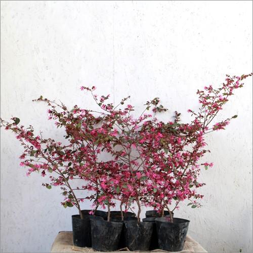 ベニバナトキワマンサク (赤葉) 樹高50〜60cm前後...