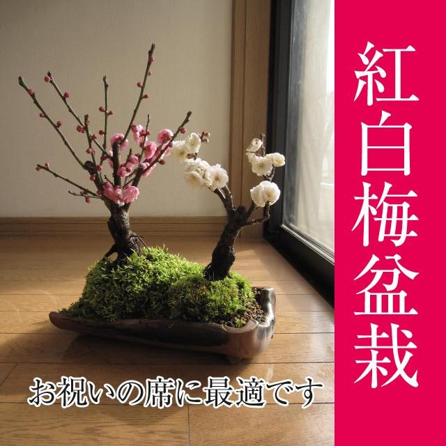 お祝いプレゼント【祝白梅】【盆栽 梅】 梅盆栽...