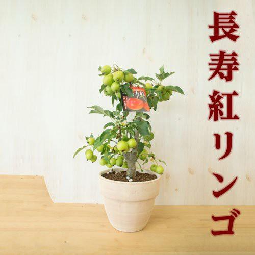 2018年秋から年末の贈り物にりんご鉢植え 長寿紅...