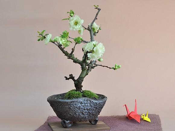 【送料無料】【盆栽】ボケ(木瓜) 白寿【ミニ盆栽 ミニ ぼけ 木瓜 花ギフト 敬老の日】