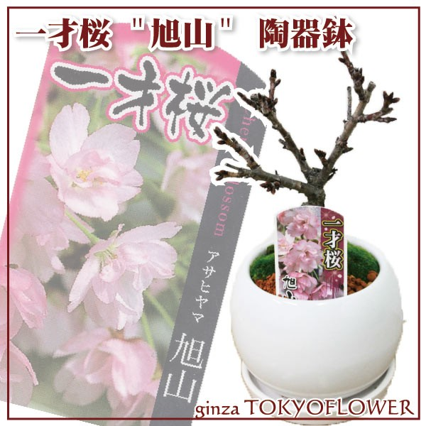 【バレンタイン】一才桜 旭山 陶器鉢 盆栽仕立て ...