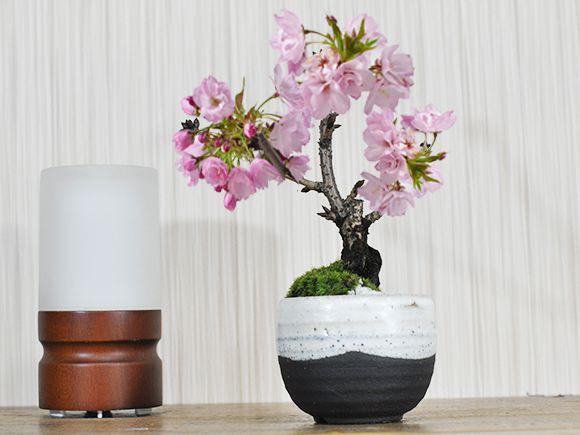盆栽 ミニ桜 いっぷく 2019開花終了 葉桜 【ミニ...
