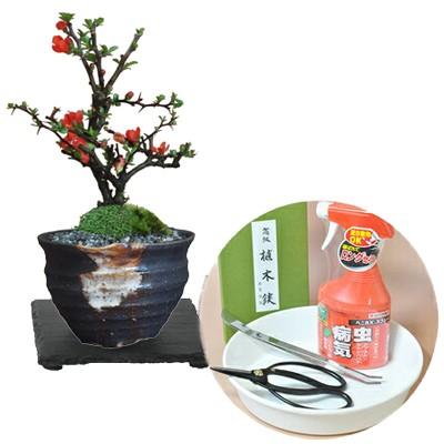 【母の日】かわいいミニ長寿梅の盆栽とはじめての...
