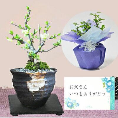 父の日 プレゼント 盆栽 花 ミニ 長寿梅 白花 天...