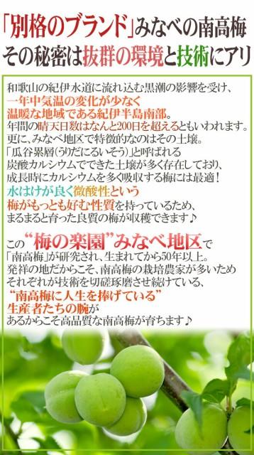 """紀州・和歌山産 """"みなべ南高梅 青梅"""" L 約1kg【予約 5月中旬~6月初旬】"""