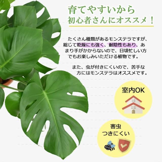 【装飾プレゼント】観葉植物 モンステラ 中型8号(ステンレス鉢カバーST付き)【鉢カバーセット】