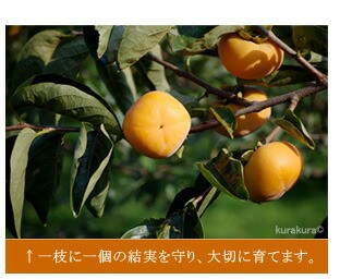 柿栽培は剪定が重要