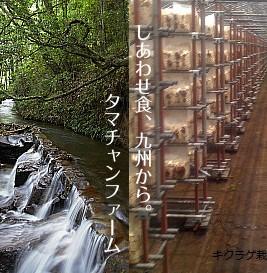 【送料無料】ぷりぷり!コリコリ!無農薬乾燥キクラゲ40g 南九州タマチャン農園のハウス内で霧島の天然水を地下150mから汲み きくらげ