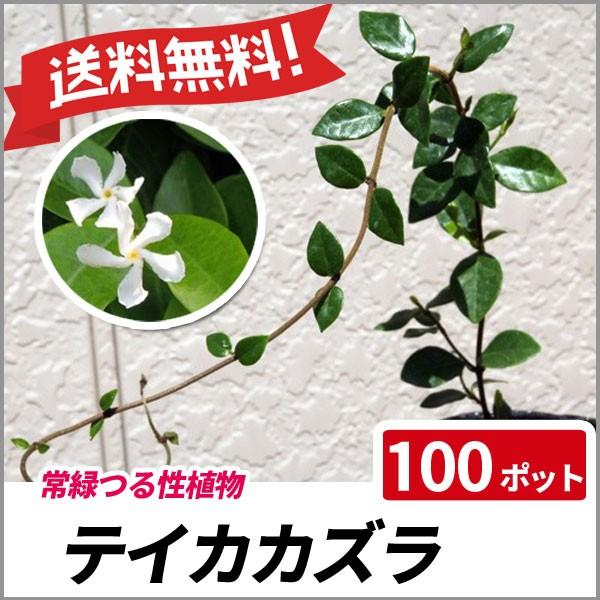 テイカカズラ 100ポットセット 常緑 グランドカバー