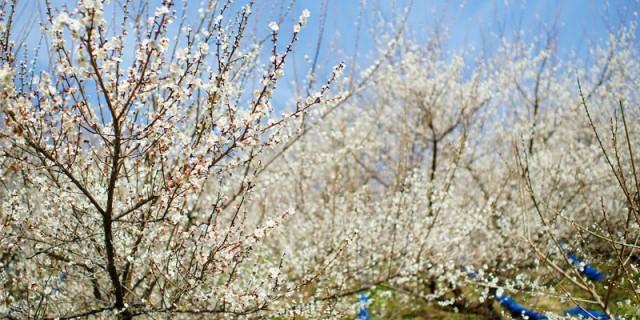 南高梅 花盛り。