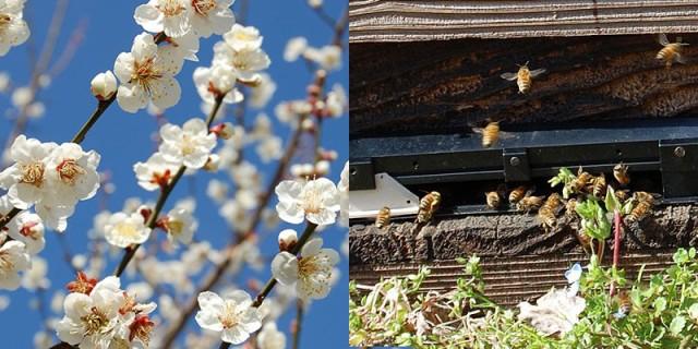 ミツバチが受粉を行います。