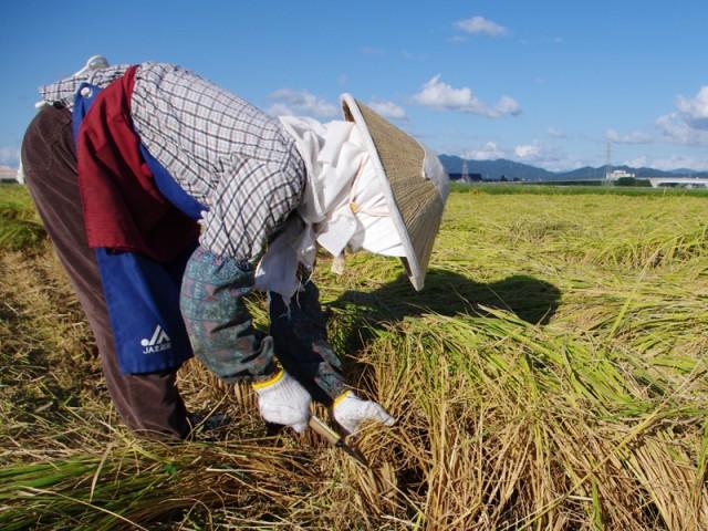 新潟県産 無洗米 コシヒカリ 10kg/新潟米 お米
