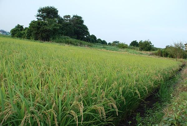 今だけ35%OFF 飛竜コシヒカリ玄米 30kg 【酵素玄米に最適】 【最高品質】29年産自然栽培米(無農薬・無肥料) 自家採種・固定種