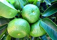 「幻の柑橘」直七とは?